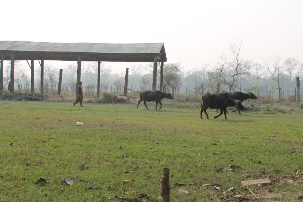 Da wurden ein paar Büffel rumgetrieben.