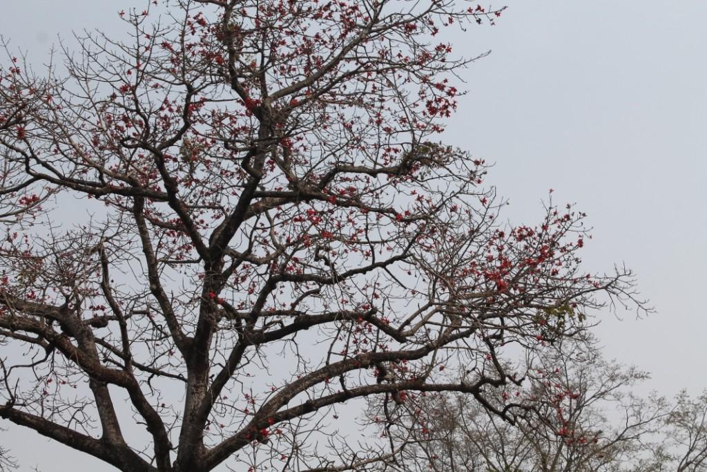 Diesen Baum mit den blutroten Blüten, aber ohne Blätter, fand ich total schön.