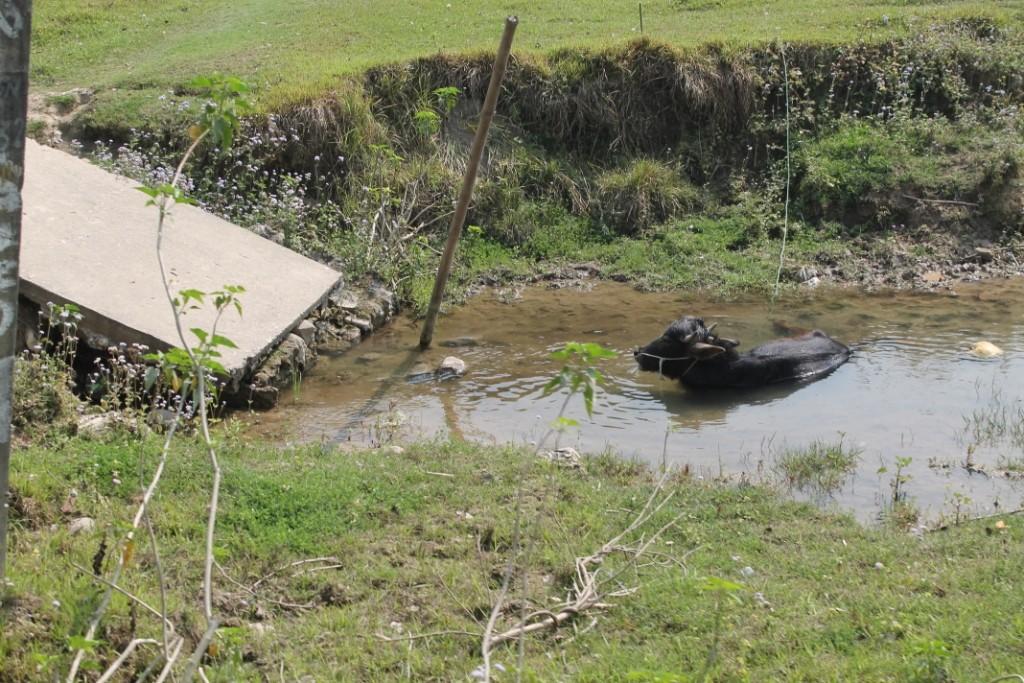 Auch hier gab es Büffel, die sich im kleinen Fluss gebadet haben. Dieser hier ist aber nicht wild.