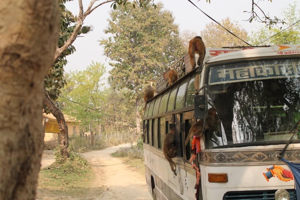 Wieder raus aus dem Park haben wir noch die Eroberung dieses Busses durch eine kleine Affenbande beobachten dürfen;)